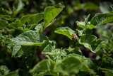 Pest colorado potato beetle on a sunny day closeup