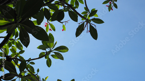 Fotobehang Plumeria silhouette image of plumeria flowers and trees leaf with sky back ground