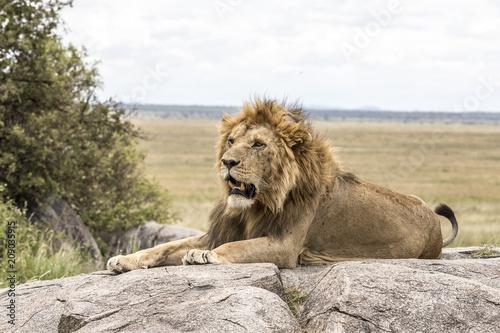 Fotobehang Lion Serengeti National Park