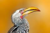 Detail portrait big bill bird from Africa. Southern Yellow-billed Hornbill, Tockus leucomelas, portrait of grey and black bird with big yellow bill, Botswana, Africa - 209043103