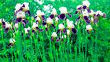 ирисы с другими растениями