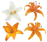 set of four lily flower blooms on white