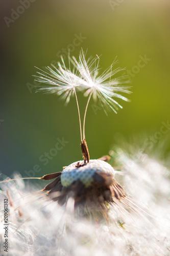 Canvas Paardenbloemen white dandelion with seeds