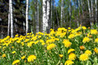 Blooming dandelions with birch trees on the background in springtime