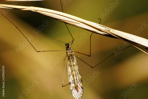 Macro of vegetable and brown mosquito of the long-legged Tipula - 209063515