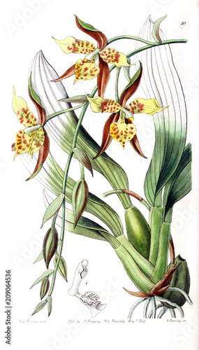 Illustration of orchid. - 209064536