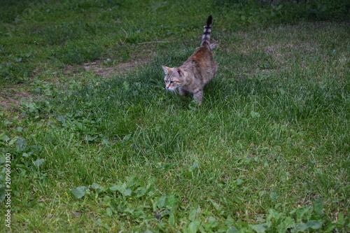 Plexiglas Kangoeroe cat on the hunt