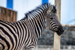 Zebra portrait in zoo. Zebra looks in camera