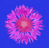 flower cornflower isolated on blue background, top view close up flat lay