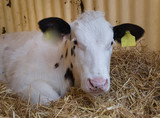 Cows at stable. Calf. Calves. Belgian Blue. Farming - 209074930