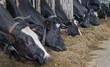 Cows in modern Dutch stable