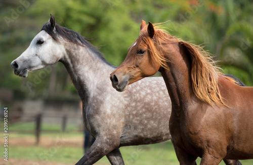 Fotobehang Paarden Cavalo Árabe, Horse Arabian