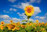 sunflowers on farming field - 209077521