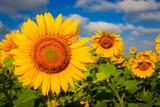 nice yellow sunflowers - 209077562