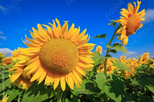 Fotobehang Oranje Yellow sunflowers under blue sky