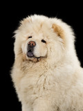 Chow Chow puppy portrait with black background. - 209078366