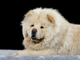 Chow Chow puppy portrait with black background. - 209078385