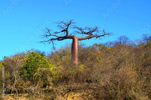 Fotobehang Baobab africa