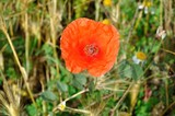 Amapola en primavera, flor
