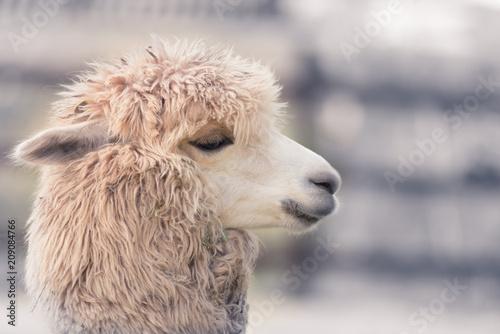 Cute and funny Alpaca in farm, friendly animal. - 209084766