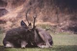 male sambar deer lying on dirt field - 209088303