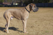 Male tan Great Dane purebred