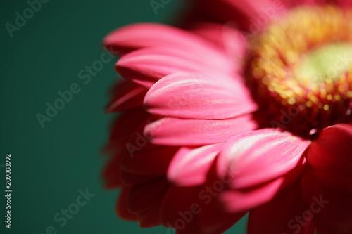 Fotobehang Gerbera red flower macro 2