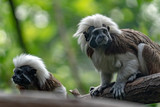 Emperor Tamarin monkey while looking at you - 209090706