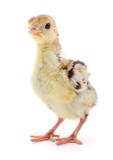 Chicken turkey isolated. - 209091776
