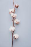 Cotton flower on pastel blue, minimal flatlay - 209093756