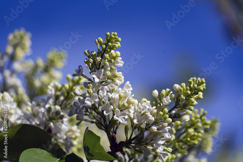 White lilac in the sunlight