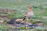 Eurasian stone curlew on the ground - 209101127