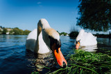 Close up of white grace swan couple stretching his neck and head towards the camera. Alster lake on a sunny day in Hamburg - 209104774