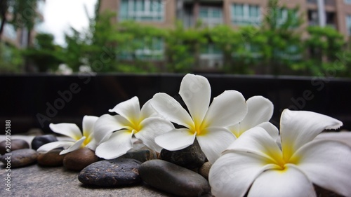 Fotobehang Plumeria Beautiful Plumeria flowers on the flore with building background.