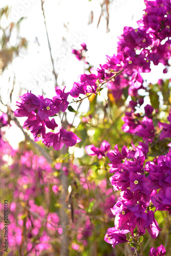 Wall mural Bougainvillea flowers blooming in tropical landscape in Baja, Mexico