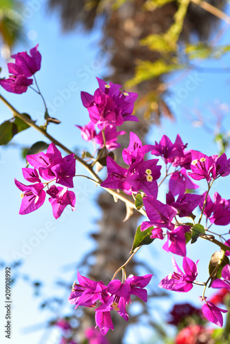 Bougainvillea flowers blooming in tropical landscape in Baja, Mexico