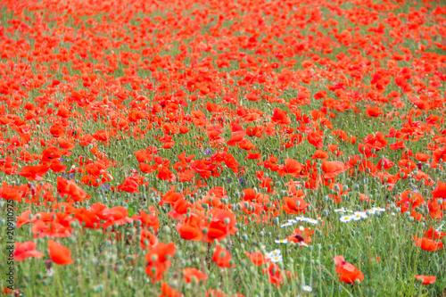 Fotobehang Koraal poppy field. Beautiful summer landscape of red flowers