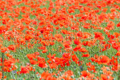 poppy field. Beautiful summer landscape of red flowers