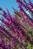 Flowering lavender in the garden - 209117109