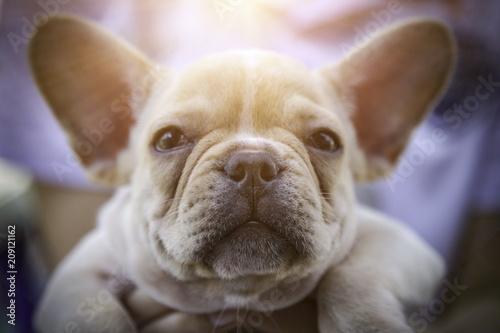 Fotobehang Franse bulldog Closed up of brown baby french bulldog.