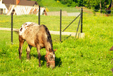 young foal grazes on green grass in the mountains. The horse stands on a meadow and eats the grass. - 209121729