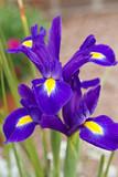 Blue iris with yellow tongue. Iris Flower