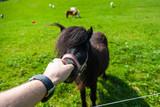 Schwarzes Shetland Pony wird gefüttert