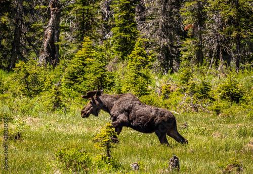 A bull moose comes ashore at Aster Park inside Glacier National Park, Montana.