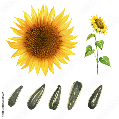 Watercolor illustration of sunflower with leaves and seeds isolated on white background with clipping paths