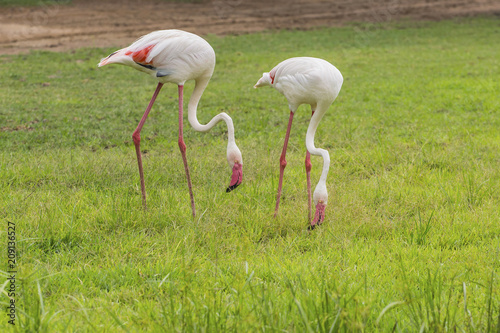 Flamingo is eating food in the meadow
