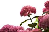 Hydrangea flowers isolated on white background