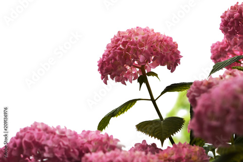 Fotobehang Hydrangea Hydrangea flowers isolated on white background