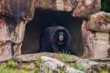 Black bear in the zoo - 209137989