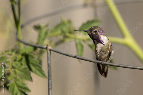 Foto Murales A Costa's Hummingbird (Calypte Costae) perches on the wire of a tomato cage in the morning sun